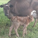 Jersey cow and her calf