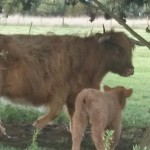 Mildred and her calf