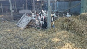 Chickens in enclosed pen